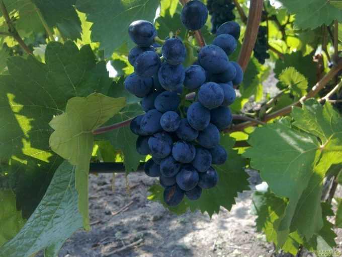 Сорт винограда «Кутузовский»