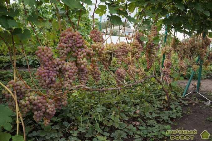 """Сорт винограда """"Леся"""""""