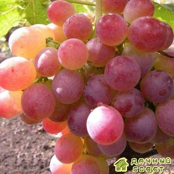 "Сорт винограда ""Нимранг"""
