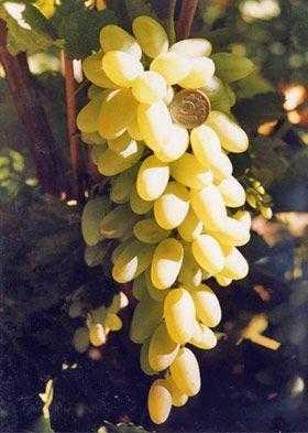 Сорт винограда «Памяти Вердеревского»