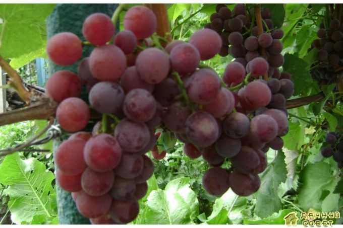 Сорт винограда «Русский конкорд»