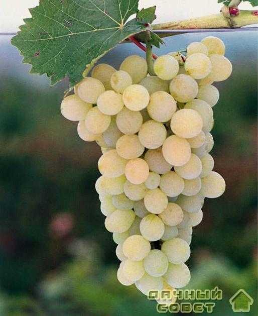 Сорт винограда «Стартовый»