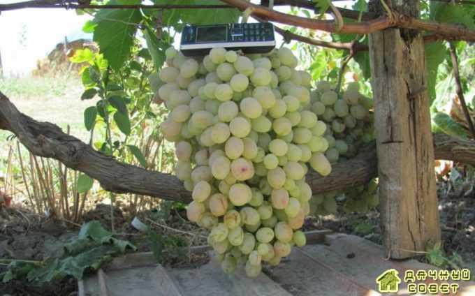 "Сорт винограда ""Тайфи белый"""