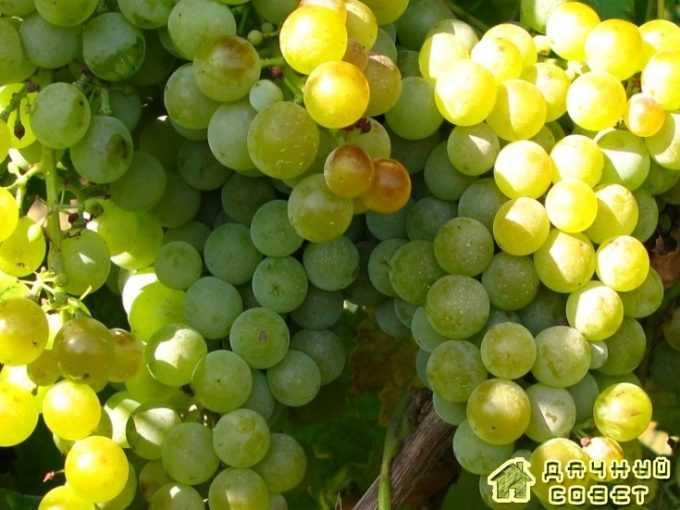 """Сорт винограда """"Янтарь осхи"""""""