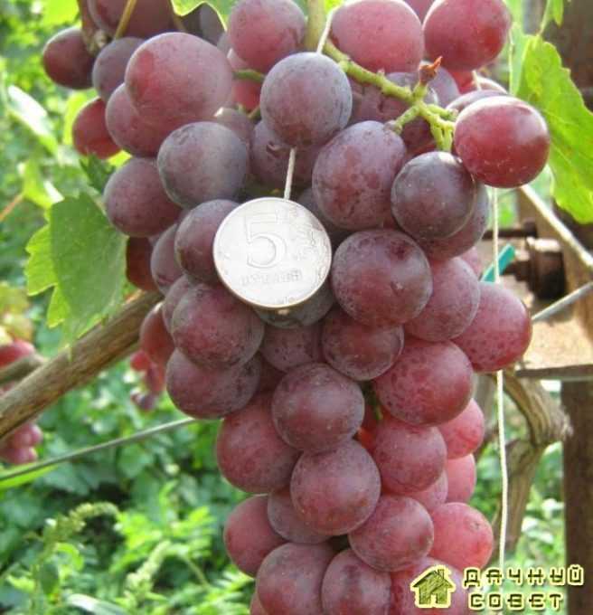 Сорт винограда «Юбилей журавля»