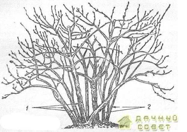 Строение куста красной смородины1 — старые скелетные ветки; 2— молодые скелетные ветки