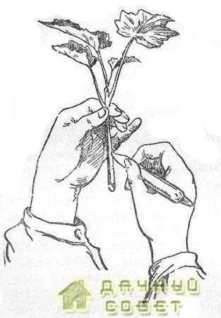Техника надрезания зеленого черенка смородины