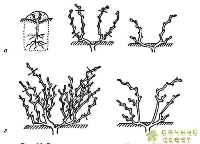 Выведение многорукавной веерной формы: а — посаженный саженец; б — осень первого года после посадки; в — весна второго года; г — осень второго года; д — весна третьего года