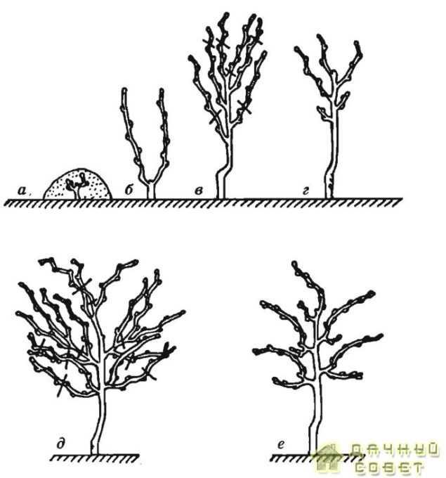 Выведение вертикального кордона: а — посаженный саженец; б — весна второго года; в — осень второго года; г — весна третьего года; д — осень третьего года; е — весна четвертого года