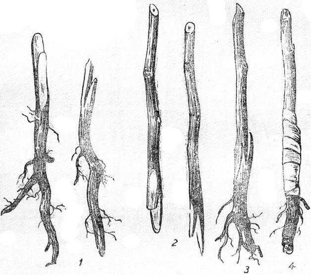 зимняя корневая прививка по способу копулировки (с язычками) 1-подготовленные корни; 2 сто прив— черенки; 3— привитый корень; 4 — ме-ивки после обвязки