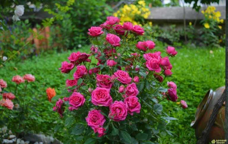 Розы: холим и лелеем