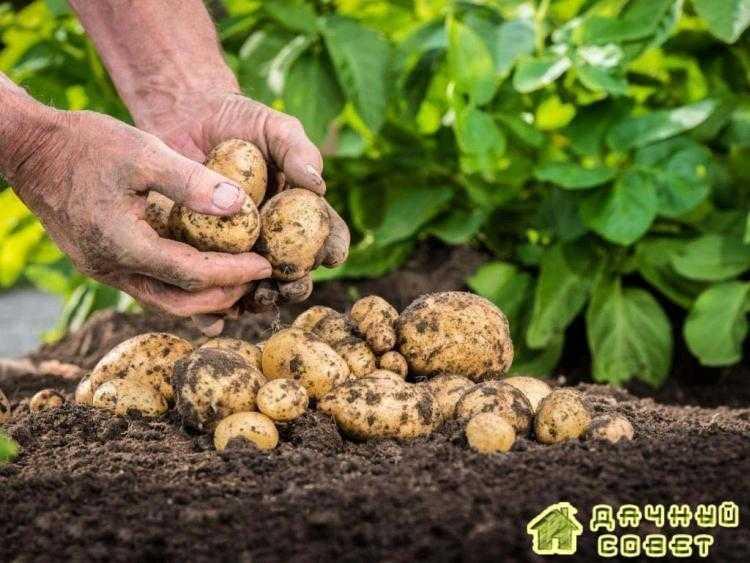 Как получить достойный урожай картофеля