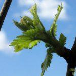 Годичный биологический цикл виноградного растения
