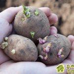Готовим клубни картофеля к посадке