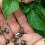 Как избавиться от колорадского жука на картофеле