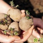 Картофель.Способы подготовки клубней к посадке