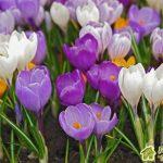 Крокусы-весенние первоцветы