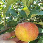 Медуница-самое сладкое яблоко