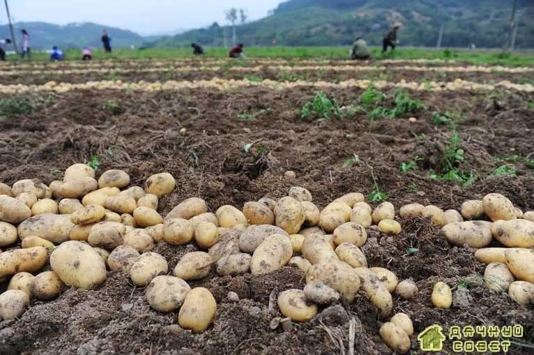 Общие правила сбора урожая картофеля