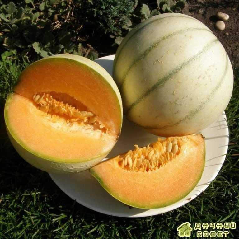 Особенности выращивания дыни