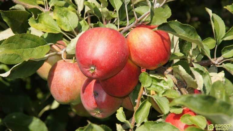 Плодовый сад без парши