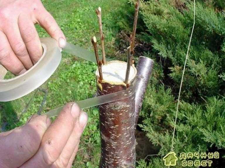 Прививка и обрезка деревьев и кустарников