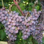 Сорта винограда с фото