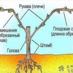 Строение виноградного растения