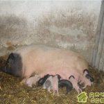 Свиноводство.Разведение свиней