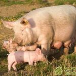 Свиноводство.Содержание свиней