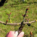 Уход за молодым и плодоносящим садом