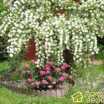 Уход за жасмином садовым(чебушник)