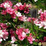 Вейгела-цветущая мечта