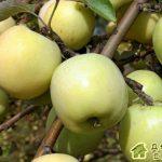 Яблоня «антоновка»