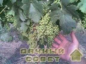Почвенно-климатические условия культуры винограда