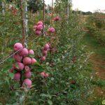 Карликовые плодовые деревья, их преимущества и недостатки