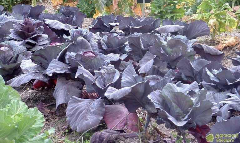 Краснокочанная капуста от посева до урожая