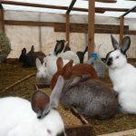 Кролиководство.Разведение и выращивание кроликов