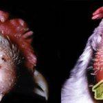 Пастереллез (холера птицы)