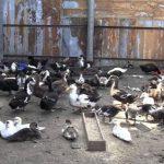 Разведение и выращивание домашней птицы.Куры.Индюшки.Утки