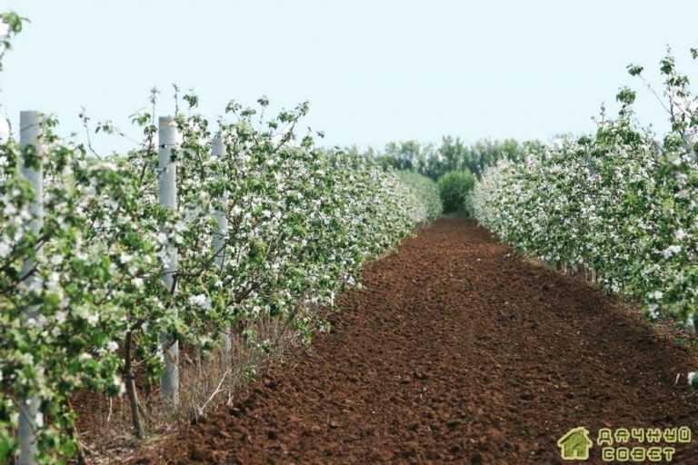 Содержание и обработка почвы в плодоносящем саду