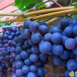 """Сорт винограда """"Сенсо"""""""