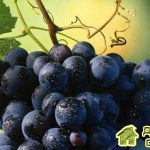 Сорта винограда для горшечной культуры