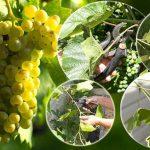 Условия роста и развития винограда