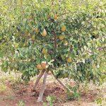 Выращивание карликовых деревьев на сильнорослых подвоях