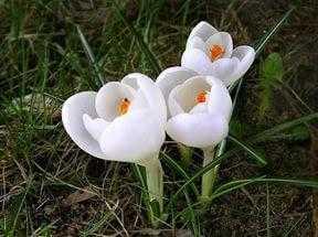 Подснежник (Galanthus L.) галантус