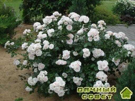 роза 'Aspirin'