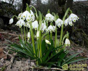 Белоцветник (Leucojum L.)