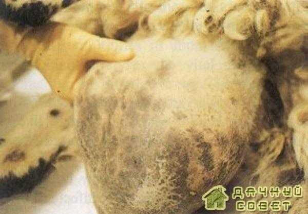 Бруцеллез у коз и овец