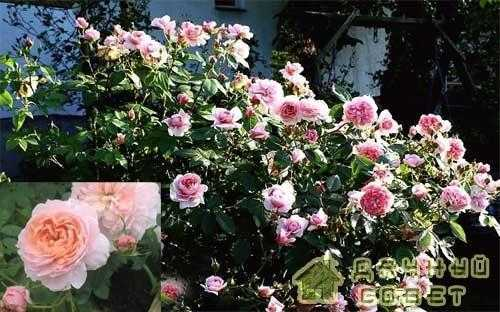 'Colette' роза